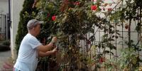 Strihanie ruží.